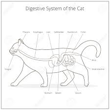 cat digestive system digestive system of the cat veterinary vector illustration