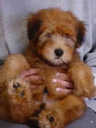 614 best wheaten terrier ani our newest family member images