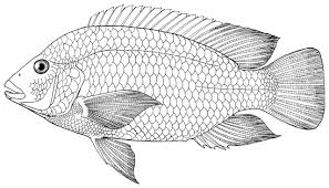 Royalty Free Tilapia Fish In Water Clip Art Freshwater Fishes Of Iran