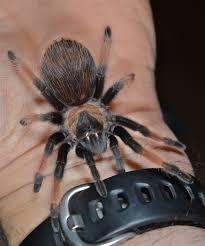 Do Tarantulas Shed Their Legs may 2013 things biological