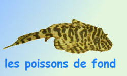 poisson eau douce aquarium tropical poissons tropicaux d eau douce les poissons de fond