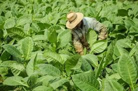 Tobacco Fields In Cuba Stock Photo
