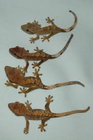 Crested Gecko Shedding Signs by Crested Gecko Rhacodactylus Ciliatus Crested Gecko Pet Care Guide
