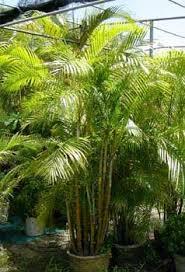 golden palm in pots golden palm dypsis lutescens plant nursery