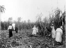 A Cuban Sugar Cane Plantation