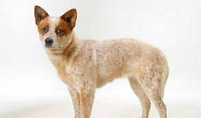 Blue Heeler Mix Shedding by Australian Cattle Dog Breed Information