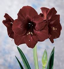 black pearl amaryllis new color large