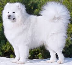 Do Hypoallergenic Dogs Shed As Puppies by 11 Do Samoyed Puppies Shed My Little World May 2013 Micro