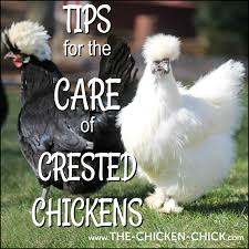 Tips for the Care of Crested Chicken Breeds