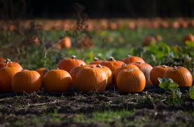 Apple Pumpkin Picking Syracuse Ny by Could Cny Experience A Pumpkin Shortage
