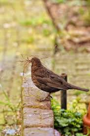 Best 25+ Female Blackbird Ideas On Pinterest | Pretty Birds ... Introduced Birds Birds In Backyards Best 25 Bird Watching Ideas On Pinterest Pretty Backyard 510 Best Birds Of A Feather Images Blackwinged Stilt 2016 Results Aussie Count Rainbow Lorikeet Evolve Their Behavior Without Chaing Bodies The To Feed Or Not To Audubon Female Blackbird Front Yard And Landscaping Ideas Designs Country Garden Striped Honeyeater Inland E Australia My