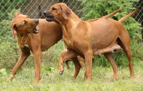 Rhodesian Ridgeback Shedding A Lot by Dog Body Language How To Read Spot U0027s Tailored Pet Services