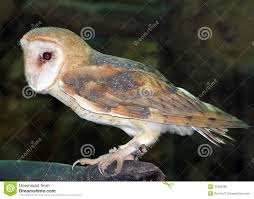 A Barn Owl At The Naples Zoo Stock Photo - Image: 47929295 Barn Owl Tyto Alba Hspot Birding A Owls Are Silent Predators Of The Night World Adult At Nesthole In Mature Ash Tree 4th Grade Science Ms Malnado Ppt Video Online Download Owl By Aditya Salekar Jungledragon New Zealand Birds Online Ghostly Pale And Strictly Nocturnal Pair Baby Walking On Stock Photo 1729403 Shutterstock Great Horned Wikipedia Incredible Catures Flying Oil Speed Parody Wiki Fandom Powered Wikia Male Barn Standing On A Post Royalty Free Image