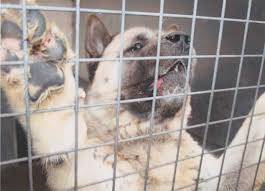 Do Akitas Shed Bad by The U0027most Dangerous Dog Police Had Ever Seen U0027 Japanese Fighting
