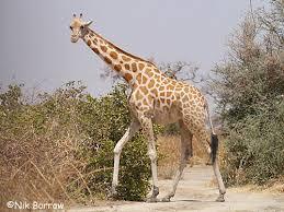 West African Giraffe Cameroon