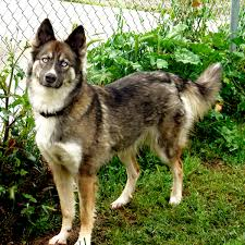 Non Shedding Husky Cross by German Shepherd Husky Mix Information Pictures And Videos