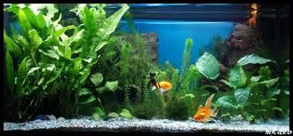 petit aquarium d environ 30l aquariophilie org