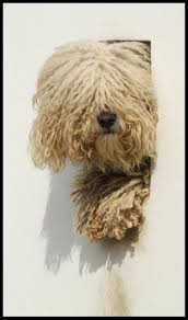 Do Wirehaired Vizslas Shed by Top 25 Best Hungarian Dog Ideas On Pinterest Mop Dog Hungarian