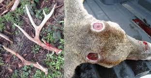 hunter shot a nice buck but went home with an antlerless deer
