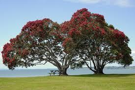 Best Christmas Tree Type by Metrosideros Excelsa Wikipedia