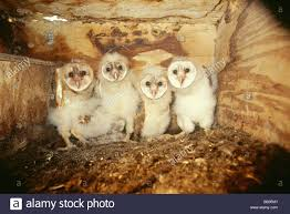 Barn Owl Owlets In A Nest Box Stock Photo, Royalty Free Image ... Chris Eastern Screech Owl Nest Box Cam For 2001 Three Cute Barn Owlets Getting Raised In Kodbakkam Chennai 077bojpg Needle Felted Owlet Baby Outdoor Alabama Escapes And Photography Owls Owlets At Charlecote Park Robin Loznak Barn Owls Oregon Overheated Chicks Rescued Hungry Project 132567 2568 2569 2570 The Wildlife Center Wallpaper Archives Trust Young Thrive On Harewood Estate House By Michael A Eccles