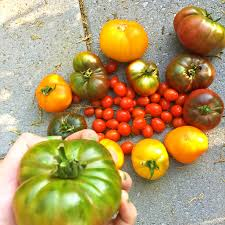 100 Heirloom Food Truck Taste 30plus Heirloom Tomato Varieties At Windrose Farm On Sept 22