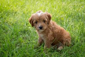 do cavapoos shed a lot cavapoo puppies