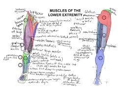 Muscle Anato Anatomy Coloring Book Muscles With Project For Awesome Of