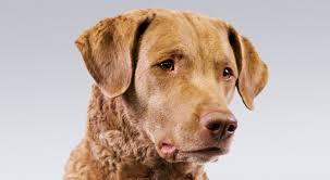 chesapeake bay retriever dog breed information american kennel club