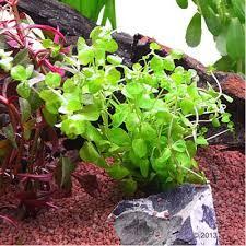 lot de plantes pour aquarium de 60 cm à prix avantageux chez zooplus