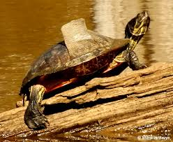Snapping Turtle Shell Shedding by Shedding My Beautiful World