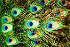 Peacock Feather Wallpaper By Carmen Fruge PC81 LKR