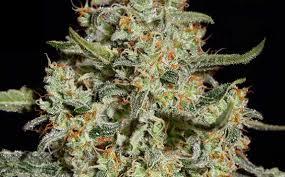fin de floraison cannabis exterieur variétés de cannabis à haut rendement et résistantes aux