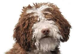 Portuguese Water Dog Shedding Problems by Spanish Water Dog Breed Information American Kennel Club