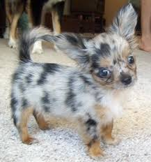 Do Long Haired Chiweenies Shed by Best 25 Chihuahua Puppies Ideas On Pinterest Teacup Chihuahua