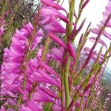 perennials watsonia paucifolia seeds indigenous south
