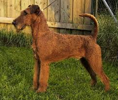 datei irish terrier jpg irish terrier pinterest irish