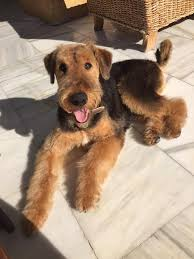 Airedale Terrier Non Shedding by 106 Best Airedales Images On Pinterest Airedale Terrier Dogs