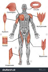 The Muscular System Coloring Packet Answers Anatomy Ebook Pdf Academy Book 1 Cells