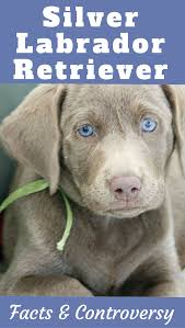 List Of Dogs That Shed A Lot by Silver Labrador Retriever Facts And Controversy