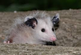 How To Get Rid Of Possums All About Opossums Wildlife Rescue And Rehabilitation Easy Ways To Get Rid Of Possums Wikihow Animals Articles Gardening Know How 4 Deter From Your Garden Possum Hashtag On Twitter Removal Living In Sydney Opossum Removal Services South Florida Nebraska Rehab Inc Help Nuisance Repel Gel Barrier Sealant For Squirrels And Raccoons To Of Terminix