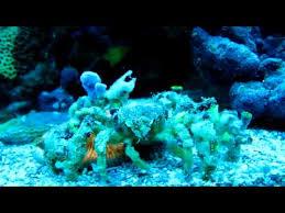 decorator crabs eat fish the decorator crab and sea sponge commensalism thinglink