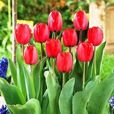 cheap tulip bulbs wholesale find tulip bulbs wholesale deals on
