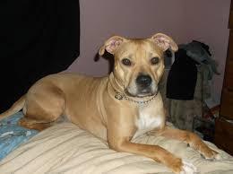 Black Mouth Cur Shed Hunting by Best 25 Dog Ear Wash Ideas On Pinterest Boric Acid Powder Dog