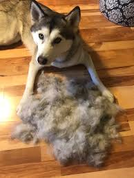 Do Malamutes Shed Hair by How To Care For A Shedding Dog