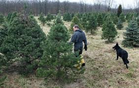 Christmas Tree Seedlings by Fred U0027s Tree Farm In Medina County Takes No Frills Approach To Cut
