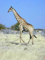 Unique Facts About Africa Giraffe