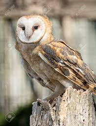 Buffy Stock Photos. Royalty Free Buffy Images And Pictures Amazing Barn Owl Nocturnal Facts About Wild Animals Barn Owl By David Cooke For Sale The Sculpture Parkcom Rhodium Comes To Canada With Its Striking New Nocturnal Nature Flying Wallpapersbirds Unique Hd Wallpapers Owls In Kuala Lumpur Bird Park Stock Photo Image 87325150 Biocontrol View Common In Malaysia Sekinchan Paddy Field Youtube Another Blog Farmers Friend Bear With Him Girl Mom Birds Of World Owls