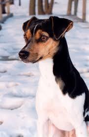 Stop Rat Terrier Shedding by Brazilian Terrier Fox Paulistinha Terrier Brasileiro Fox