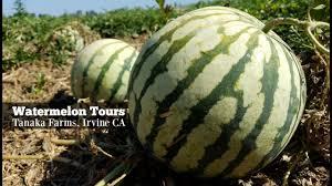 Pumpkin Patch Irvine University by Watermelon Tours At Tanaka Farms Irvine Ca Youtube